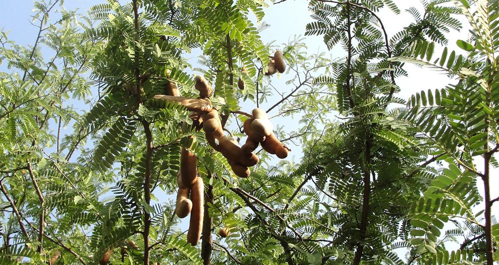 Tamarind_Tree_frutos